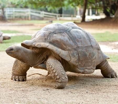 large turtle: Large turtle