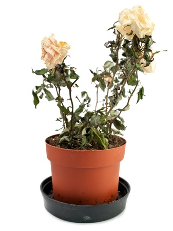 wilted: The dried-up, faded rose in a pot Stock Photo