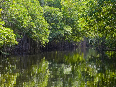 Tropical thickets mangrove forest on the Black river. Jamaica photo