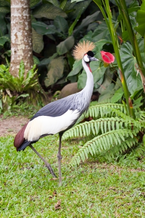 Southern Crowned Grey Crane  photo