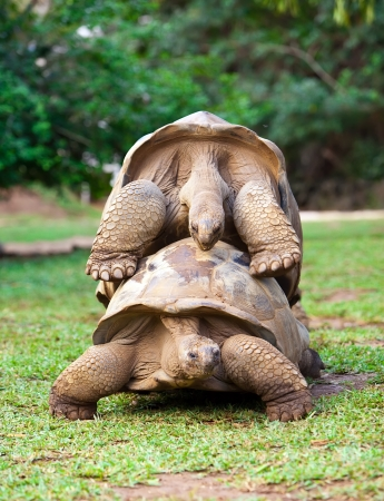 two Big Seychelles turtles sympathizing each other. Mauritius photo