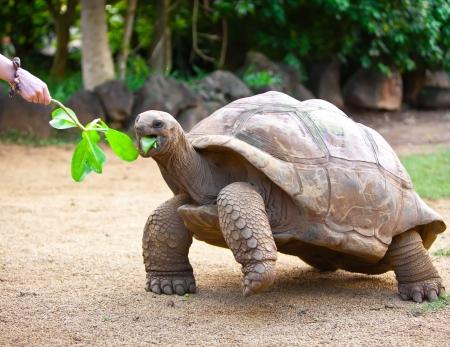 Big Seychelles turtle eat.