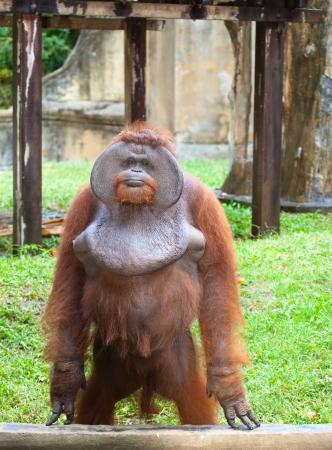 hominid: Big orangutan