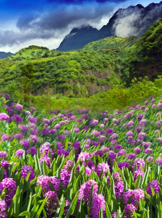 Polynesia. Tahiti. lupines Flower field and mountain   photo