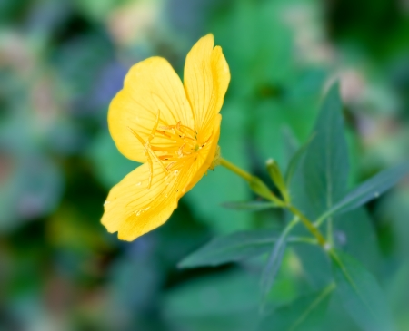 buttercup flower: yellow buttercup flower