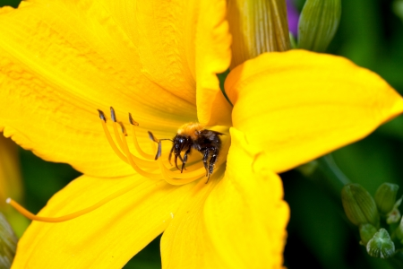 Bee on a yellow lily photo