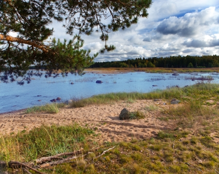 Russia. Pine branches over the sandy coast of the Gulf of Finland   photo