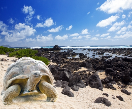 galapagos: Large turtle (Megalochelys gigantea) at the sea edge on background of a tropical landscape. Stock Photo