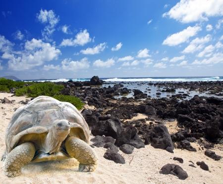 tortuga: Tortuga de gran tama?o (Megalochelys gigantea) en el borde del mar en el fondo de un paisaje tropical.
