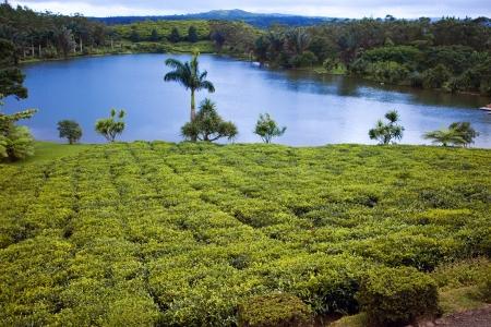 foothills: Tea plantation (Bois Cheri) in the foothills. Mauritius