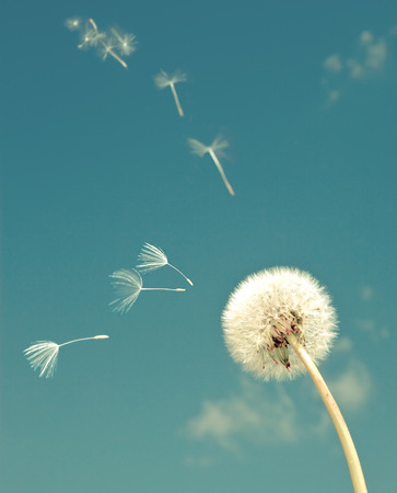 dandelion wind: Dandelion and flying  fuzzes,with a retro effect