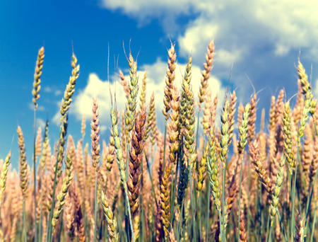 Ears of wheat on sky background,with a retro effect photo