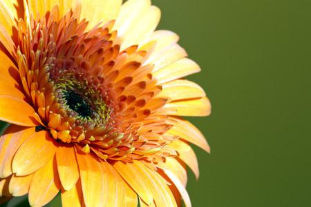 sharpness: Red Transvaal daisy flower, small depth of sharpness