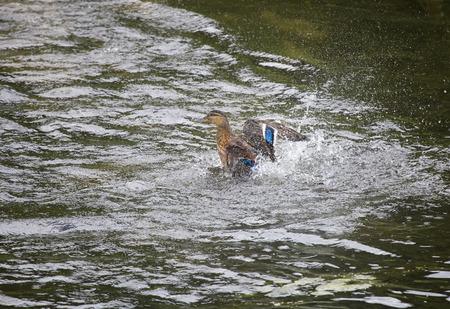 drake: Drake in the river, in splashes waves wings