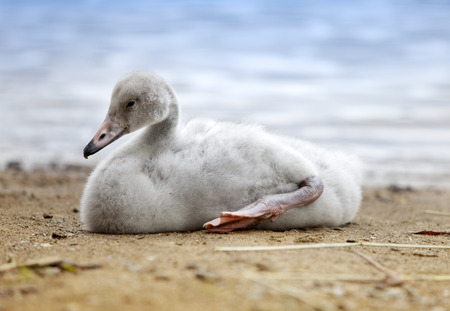 teeny: The young swan  on the bank of the lake
