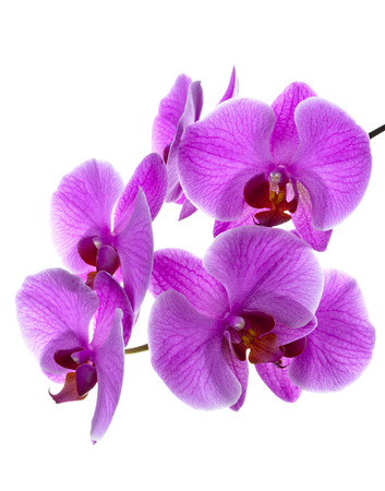 orchid: Branch of blooming orchid Stock Photo