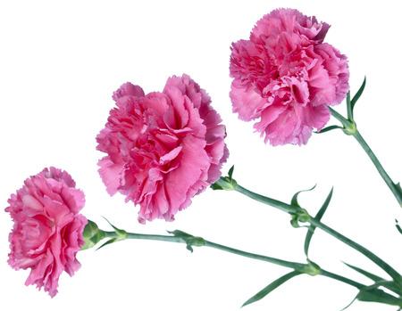 carnations: three pink carnations Stock Photo