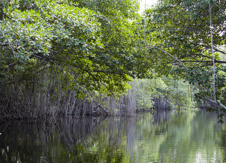 thickets: Tropical thickets mangrove forest on the Black river. Jamaica. Stock Photo