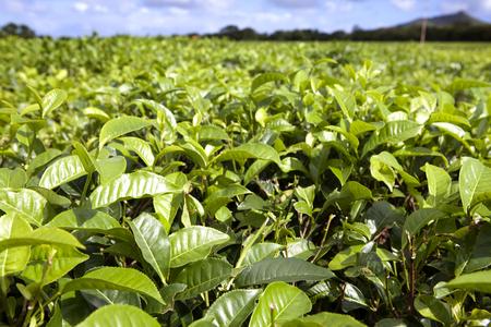 mauritius: Tea plantation. Mauritius