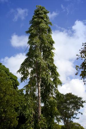 clima tropical: Los árboles de clima tropical. Mauricio Foto de archivo