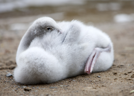 teeny: The young swan