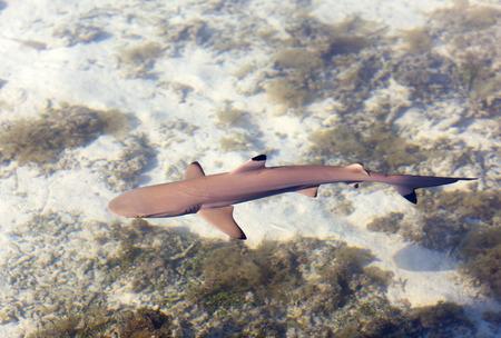 Riffhai, die Ansicht von oben durch das kristallklare Wasser Standard-Bild