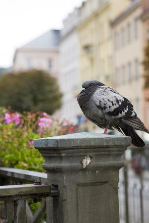 pigeon on a handrail, Tepla river.  Karlovy Vary (Carlsbad) .  Czech Republic