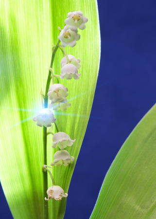 lily of the valley, small depth of sharpness