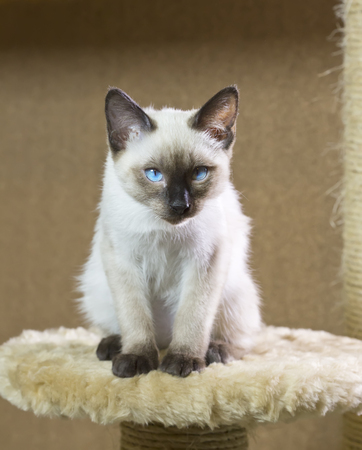 sleek haired kitten of Siamese type (Mekong bobtail)
