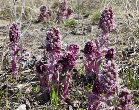 petasites: Common Butterbur (Petasites hybridus), herbaceous perennial plant Asteraceae family,  spring primrose