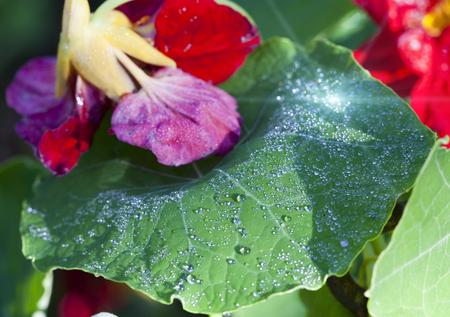 Nasturtium (Indian cress) flowers in dew drops
