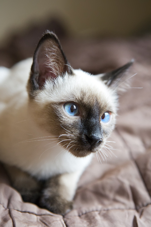 the kitten(Siamese type ,Mekong bobtail)  lies on a cover   Stock Photo
