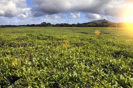 Tea plantation (Bois Cheri) in the foothills. Mauritius