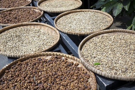 A row of the plates with raw beans of luwak coffee on the wooden table dries. Kopi luwak or civet coffee is one of the worlds most expensive and low-production varieties of coffee