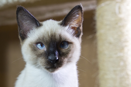 sleek haired kitten Siamese type (Mekong bobtail, tailless) Stock Photo
