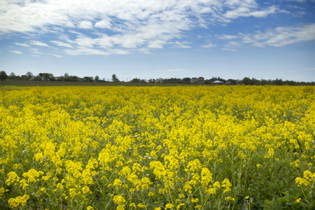 Yellow rapeseed flowers (Brassica napus) on field with blue sky and clouds