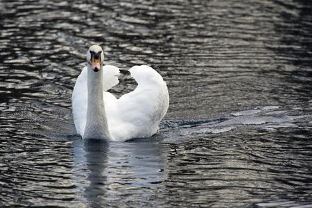 white swan in the lake Imagens