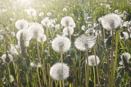 white fluffy faded dandelions in a field