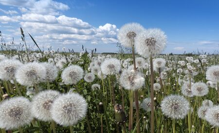 white fluffy faded dandelions in a field under a blue sky with clouds Imagens