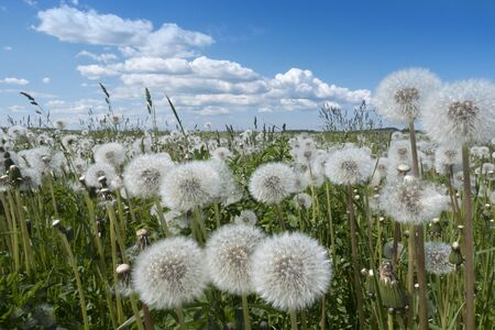 white fluffy faded dandelions in a field under a blue sky with clouds Imagens - 128893241