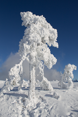 Showing some frozen trees in nice blue sky with lot of snow. Little moon in middle right picture area. Shot January 2017 on Hornisgrinde mountain,  Germany.