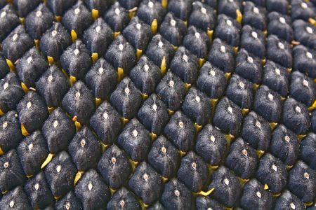 black seed: black seed sunflower row close-up Stock Photo