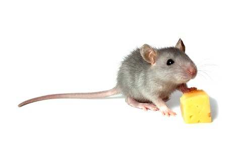 gray mouse and cheese isolated on white background