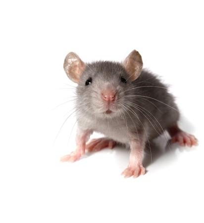 raton: rat�n gris aislado sobre fondo blanco