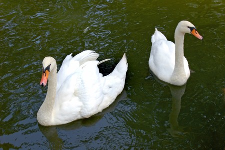 a white swan swimming on water Stock Photo - 7843436
