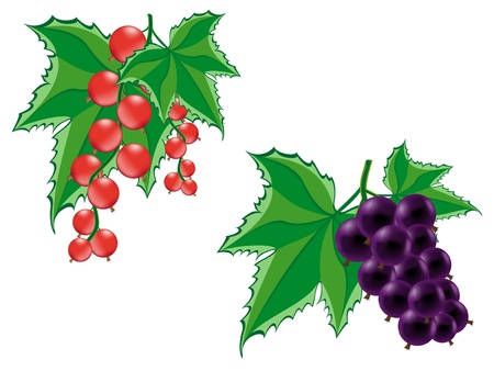red and black currant illustration isolated on white background illustration