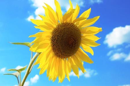 sunflower on a background blue sky photo