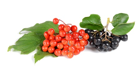 black ashberry and red viburnum  isolated on white background photo