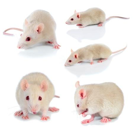 myszy: myszy na biaÅ'ym tle Zdjęcie Seryjne