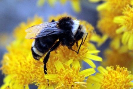 Bumblebee Pollinating Yellow Flower